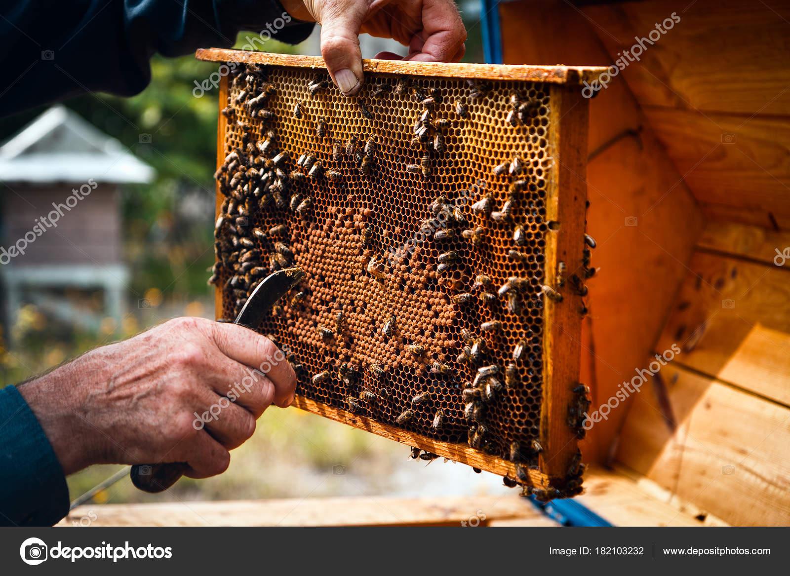 Apicultor cuidando de marco de Colonia la colmena — Foto de stock ...