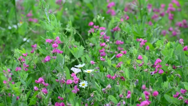 Fragment of beautiful meadow with wild flowers, Russia