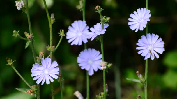 Blue flowers of wild chicory