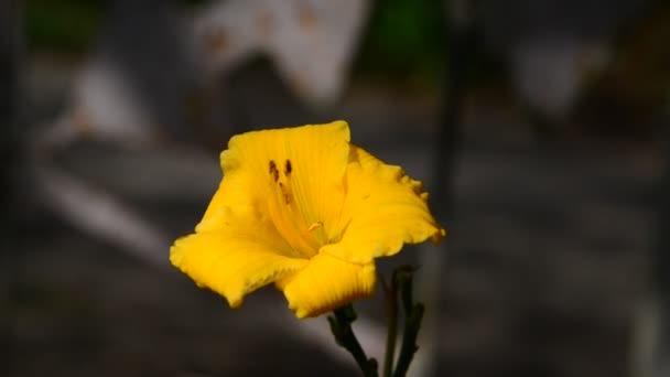 Sárga Sásliliom virág virágágyásba