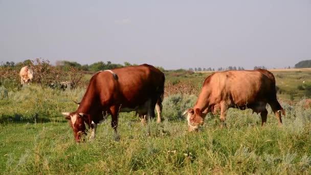 Kuh knabbert am Gras auf der Weide