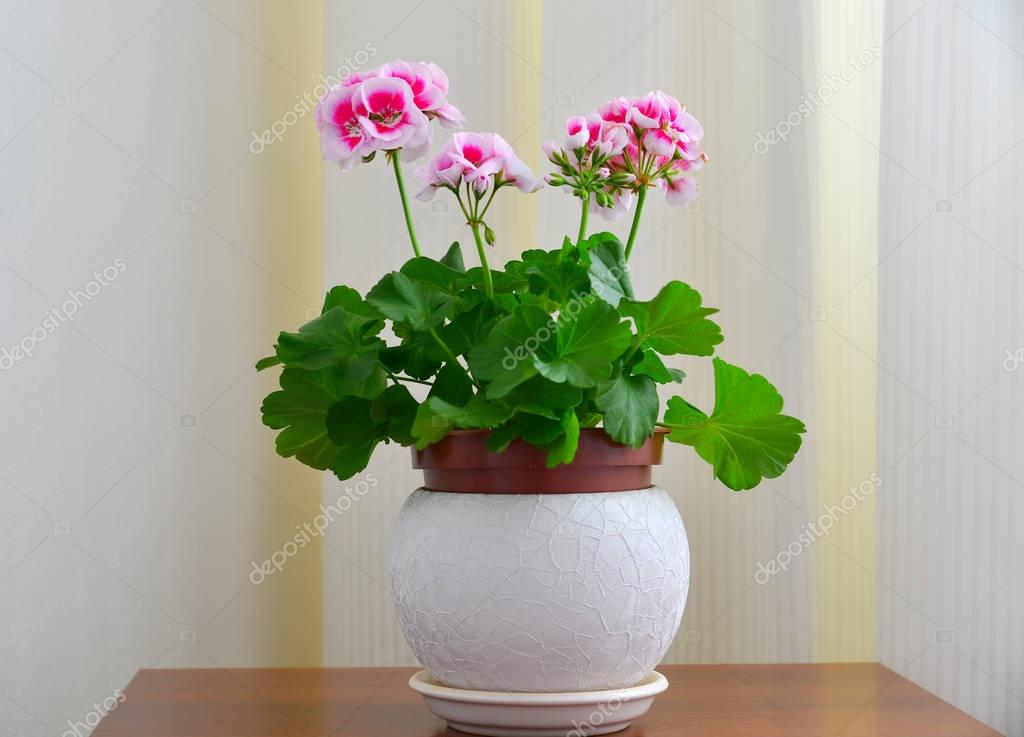 Pink geranium on background of white curtains