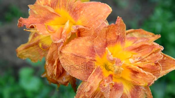 Flowers of terry orange big daylily
