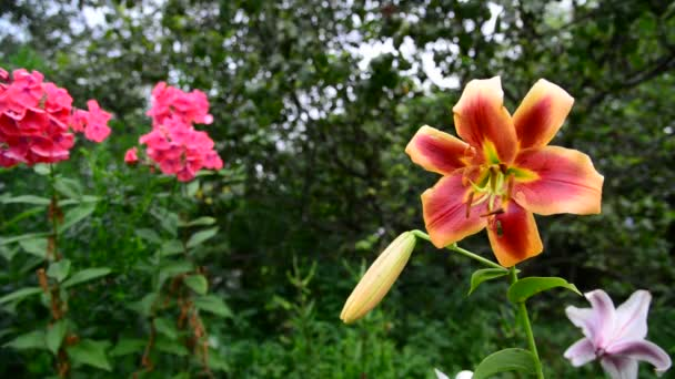 Beautiful lilies and phlox in garden