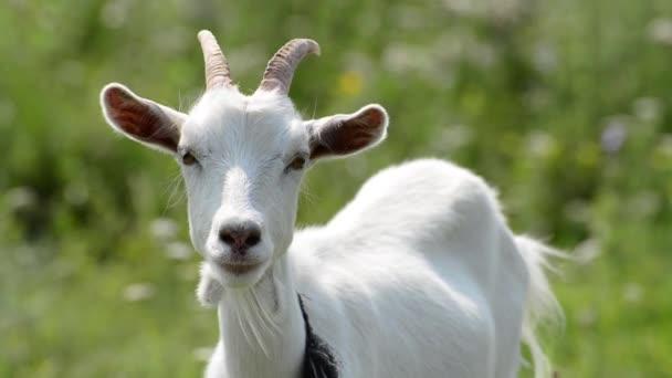 portrét mladé bílé kozy