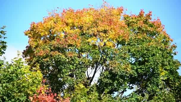 Vrcholky javorového s oranžovou listy, kymácející se ve větru