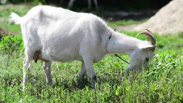 Pro dospělé bílá koza jíst trávu