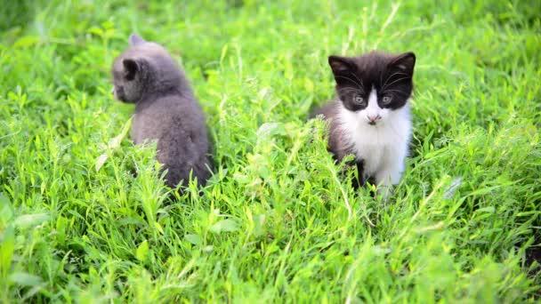 Két cica, nyáron fű