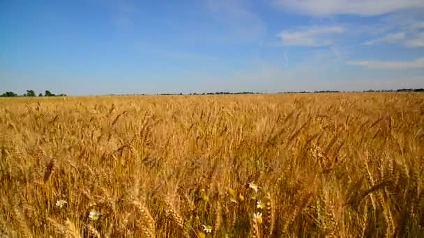 Ripe wheat swayed in strong wind. Russia