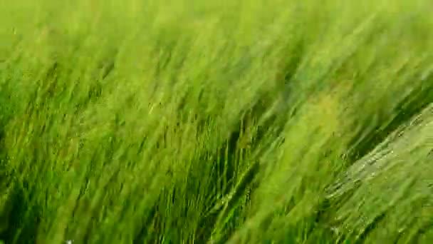 Mladé zelené žito ve větru zblízka