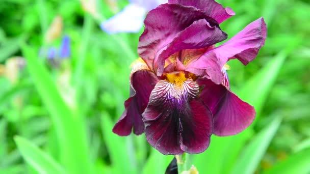 Pink iris on flower bed closeup