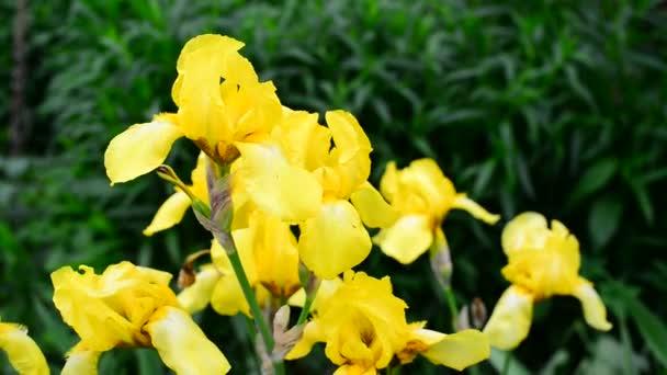 Yellow iris on flower bed closeup