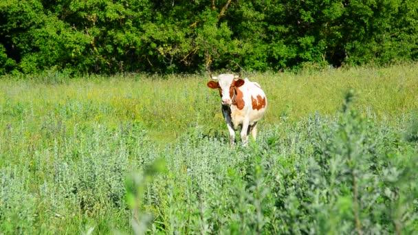 eine kunterbunte Kuh auf der Weide, Russland