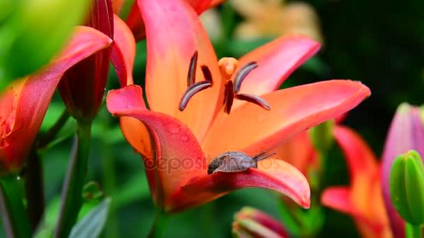Csiga bejárja mentén a narancssárga liliom