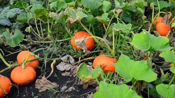 Sklizeň zralých dýní v zahradě