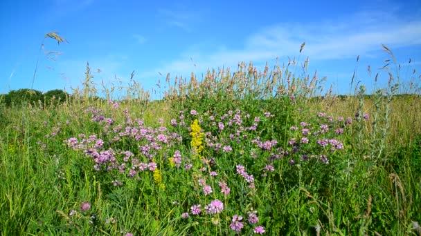 Wild flowering meadow in Russia