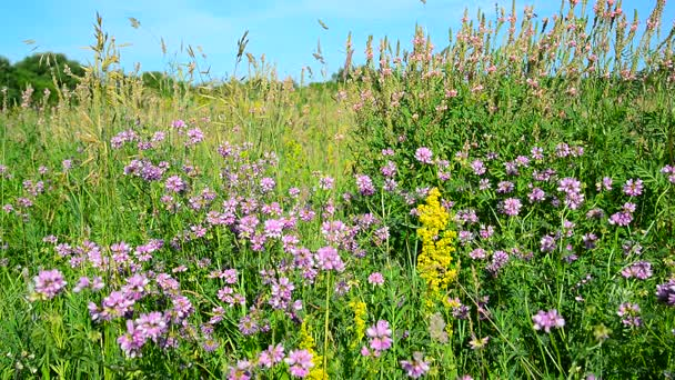 Wild flowering meadow in central strip of Russia