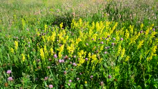 Bedstraw, heather and clover on meadow