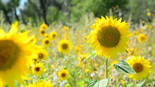 Kvetoucí slunečnice kymácí ve větru v poli