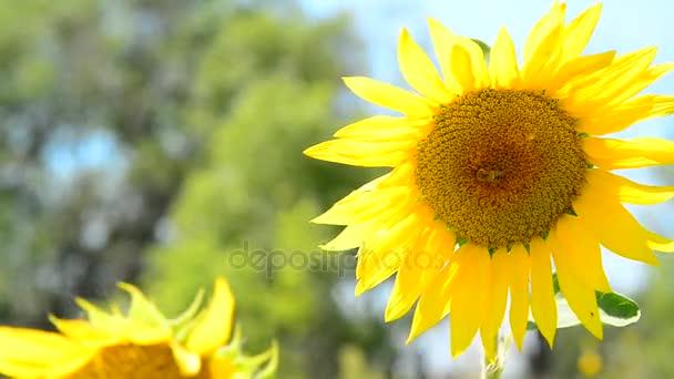 Mladí slunečnice close-up ve větru
