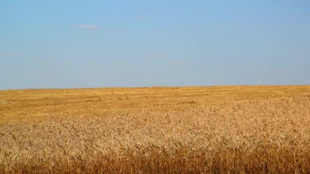 Sárga mezőben fele Lemetszett sarkú, érett búza
