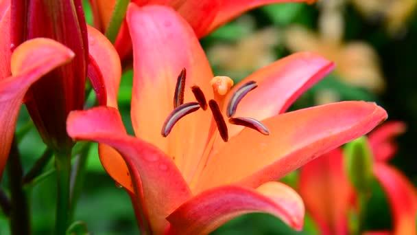 szép nagy virág narancssárga liliom