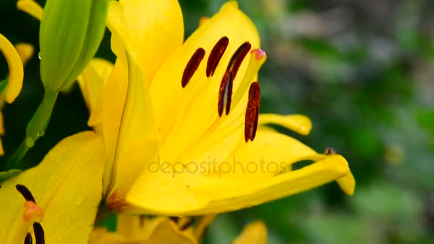 beautiful yellow lily with large stamens