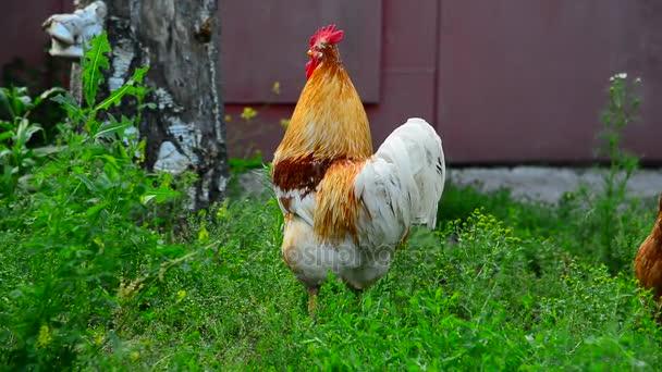 Gallo e galline che cammina sullerba
