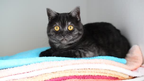 szürke brit macska fekszik törölközőt szekrényben