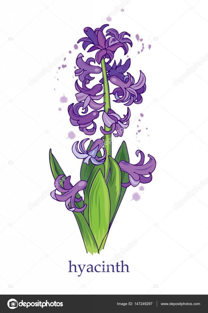 Mor Sümbül Bahar çiçek Stok Vektör Minyanna 147249297