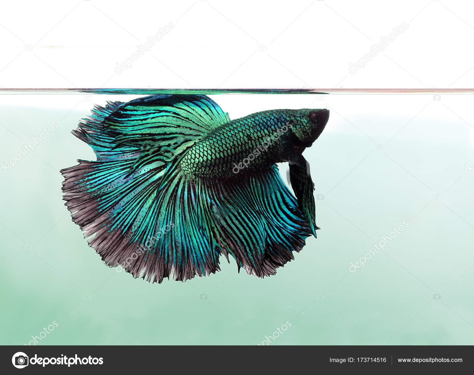 Blue betta fish isolated on white background. — Stock Photo ...