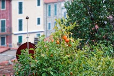 plant of orange in a garden