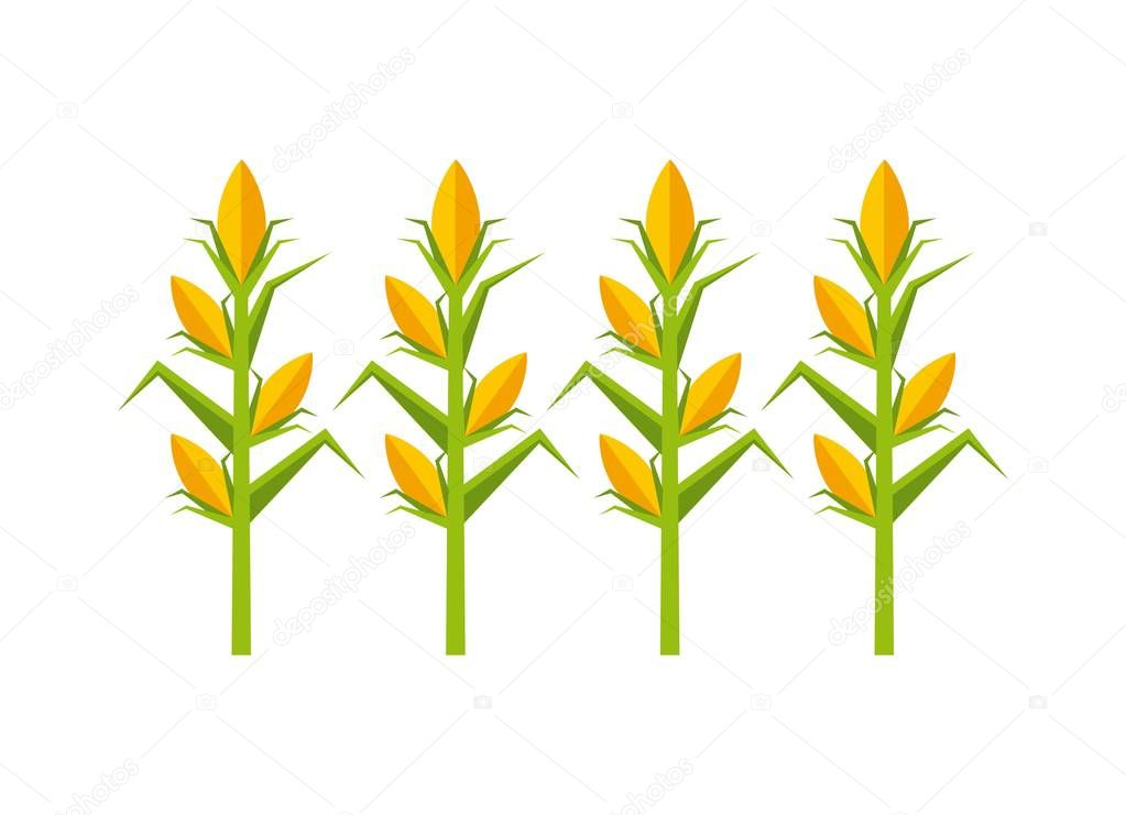 corn cultive isolated icon