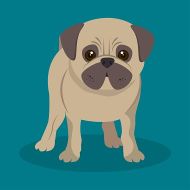 cute pug doggy standing blue background