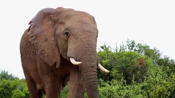 afrikai elefánt közelről