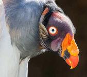 King Vulture Bird Portrait