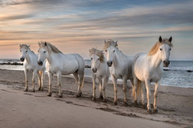 Herd of white horses are taking time on the beach. Image taken in Camargue, France. stock vector