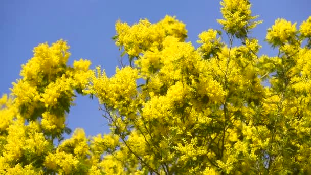 Žlutý kvetoucí mimosa strom v protipo
