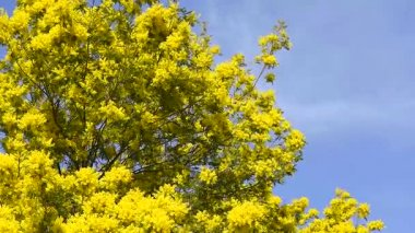 Yellow blooming of mimosa tree in spring