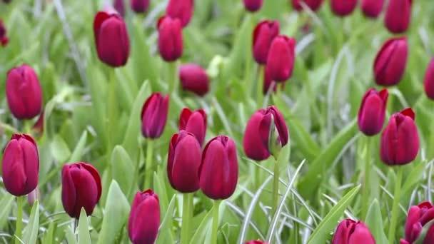 Crimson tulipány na záhonu