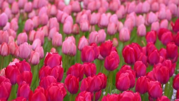 rudou barvou krve a růžové tulipány na záhonu