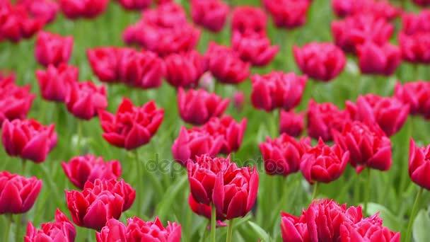 A Keukenhof - híres Holland tavaszi virág park világos virágágyásba