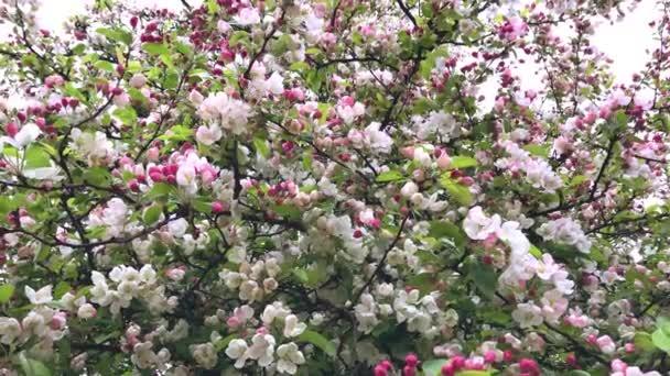 rózsaszín virágok virágzó őszibarack fa tavasszal