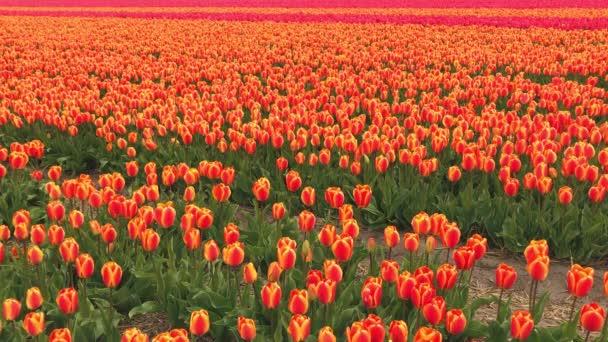 Video z pole červené tulipány v Nizozemsku
