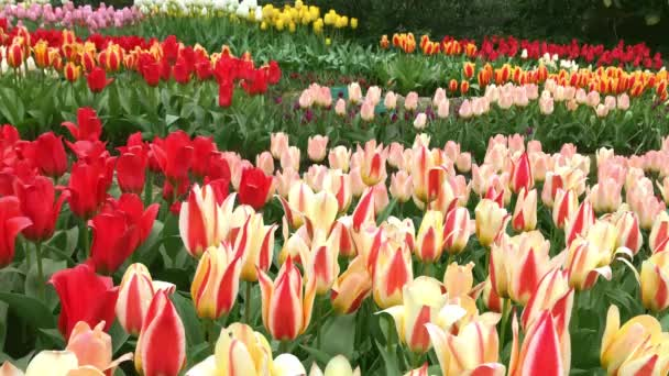 Světlé tulipány záhonu v Keukenhofu
