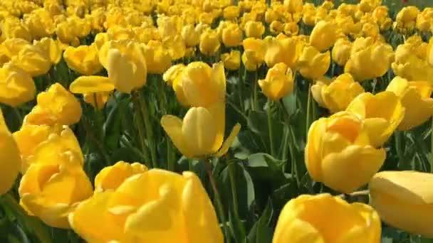 Bright tulips flowerbed in Keukenhof