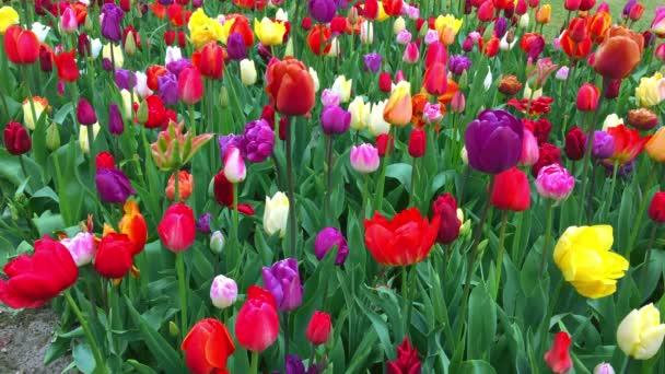 A Keukenhof világos tulipán virágágyásba