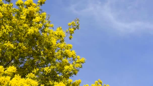 Yellow blooming of mimosa tree in spring. Blue sky as a background