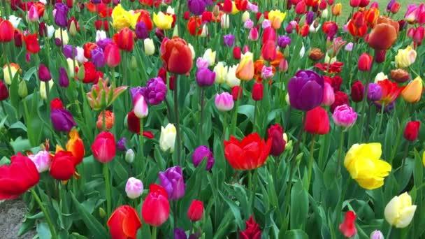 Bright tulips flowerbed in Keukenhof - famous Holland spring flower park