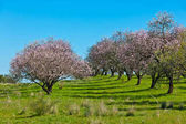 Photo Pink Blooming Peach Trees at Spring